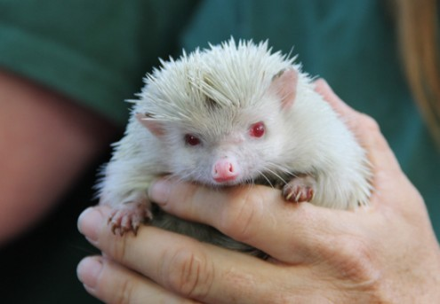 gogo_hedgehog