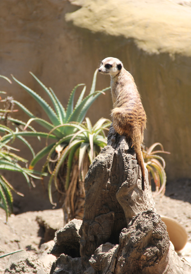verizon-snow-meerkat