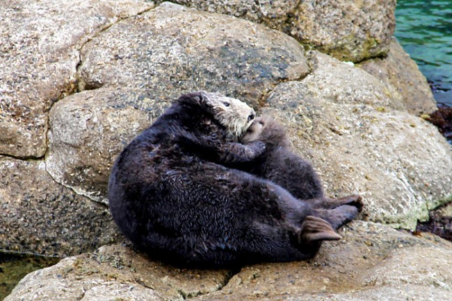 sea-otter-birth-monterey