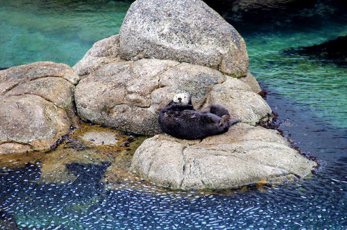 sea otter monterey, sea otter gives birth, monterey travel