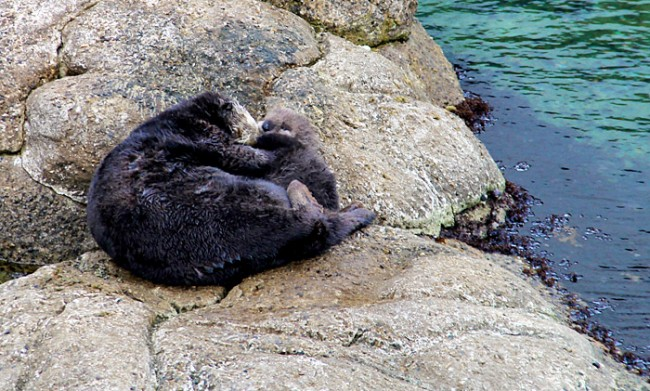 wild-sea-otter-birth