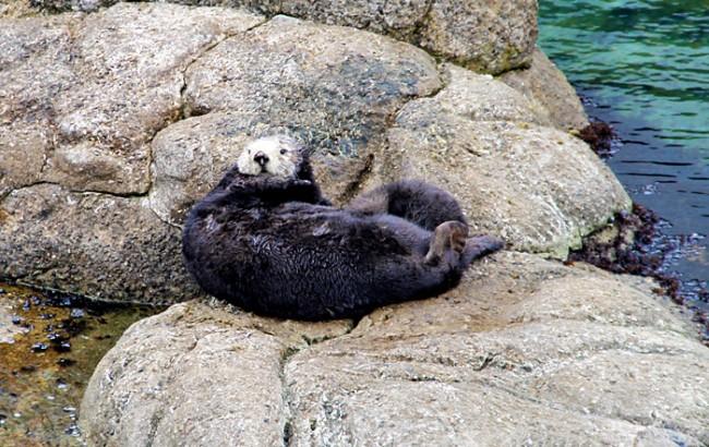 wild-sea-otter-birth-m