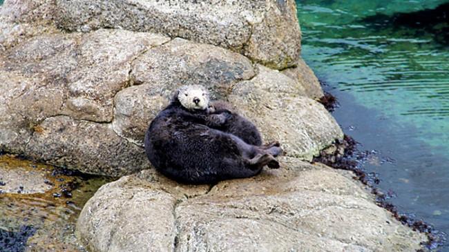 wild-sea-otter-monterey