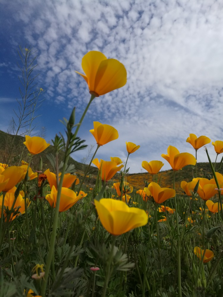 Walker Canyon Superbloom