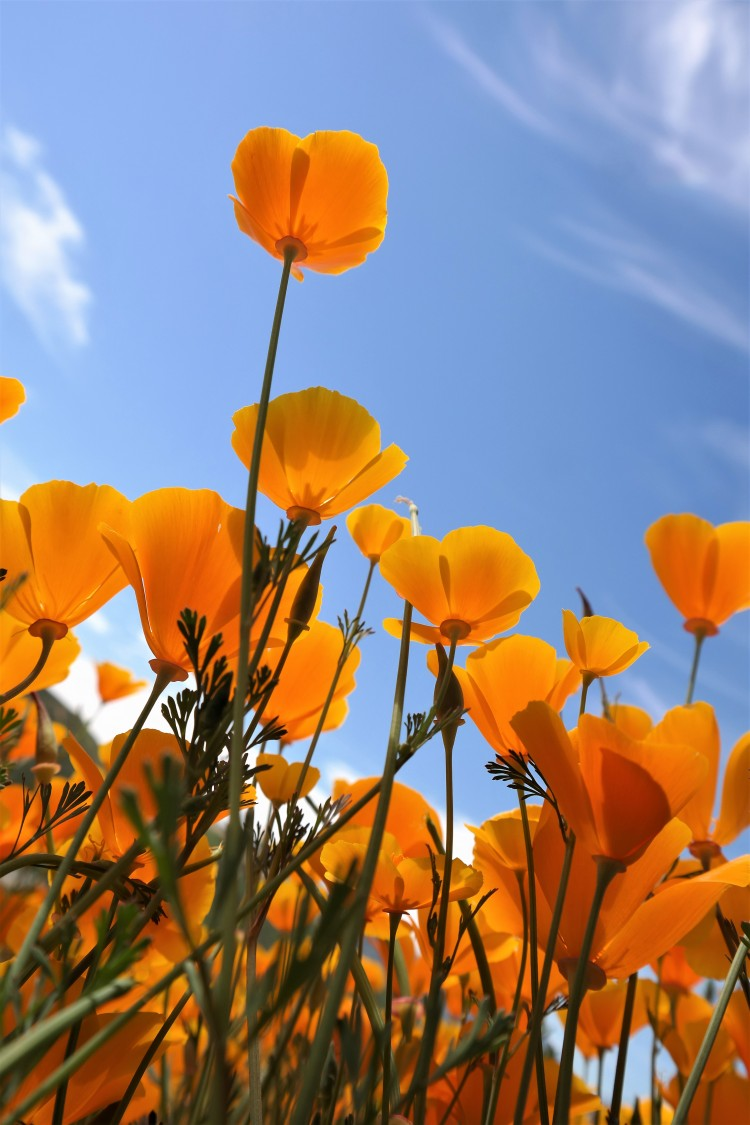 walker canyon superbloom, Lake Elsinore, Poppies, where to see flowers in southern california