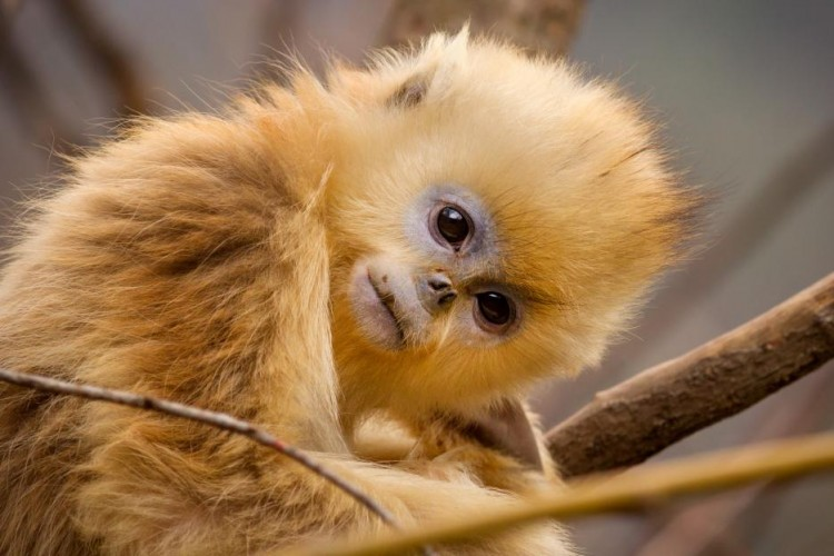 born in china golden monkeys