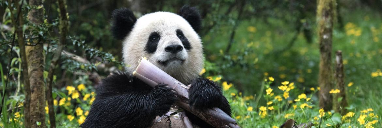 pandas 3d imax california science
