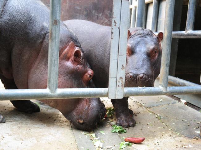 hippo encounter la zoo, hippo encounter price