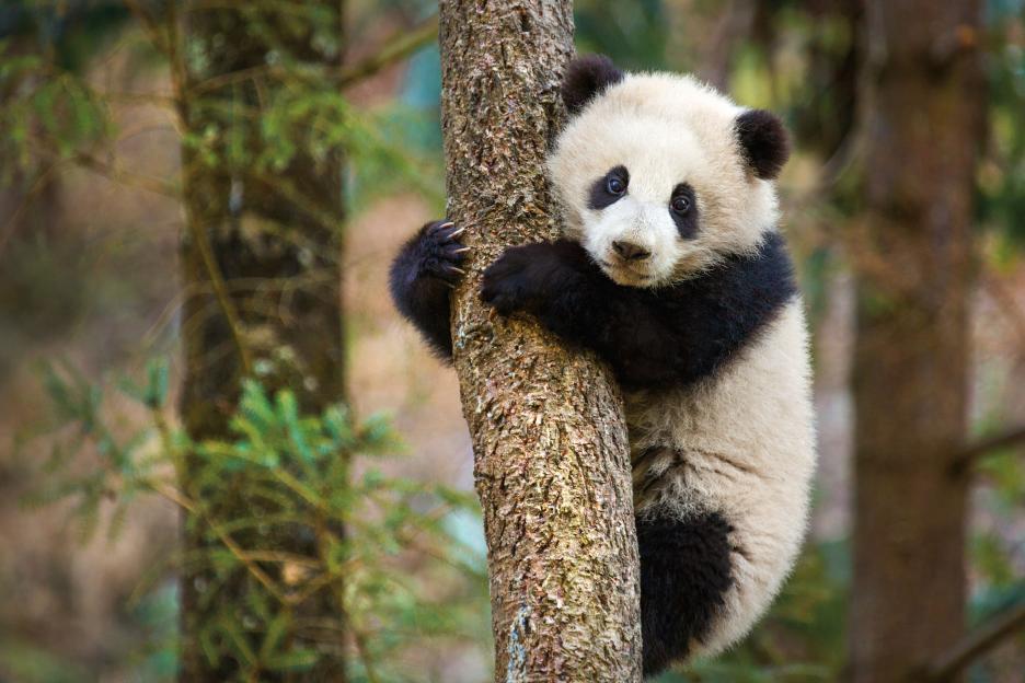 Roy Conli, Born in China, I love pandas