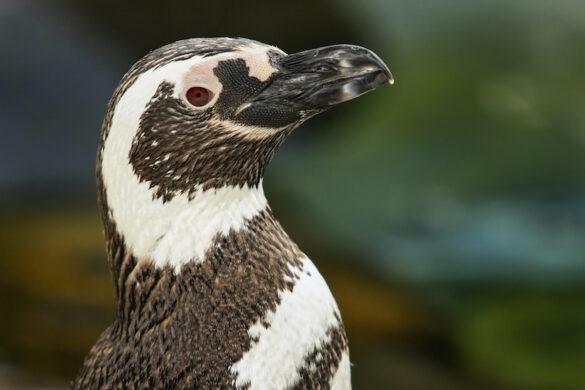 penguin encounter, aquarium of the pacific